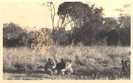 ** Carte Photo Real Photo ** AFRIQUE NOIRE - KENYA Groupe De Lions / Group Of Lions - Format CPSM PF Black Africa - Kenia