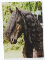 "Postcard Horse Fresian ""Kees W."" Head Friesen Hengst Pferd Kopf Cheval Caballo Cavalo Germany Not Circulated - Pferde"