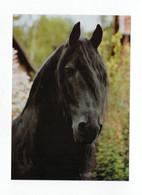 Postcard Horse Fresian Head Friesen Pferd Kopf Cheval Caballo Cavalo Germany Not Circulated - Pferde
