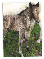 Postcard Horse Pferd Cheval Caballo Cavalo Foal Fohlen Poulain Potro Not Circulated - Pferde