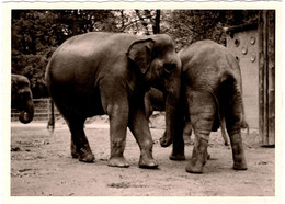 Photo Originale Animalière Tête à Queue D'éléphants Au Zoo Vers 1950 - Berlin ? - Anonyme Personen