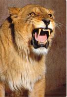 31 - Plaisance Du Touch - Parc Zoologique - La Lionne Lisa - Otros Municipios