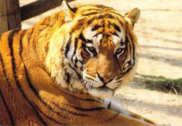 31 - Plaisance Du Touch - Parc Zoologique - Tigre - Frankrijk