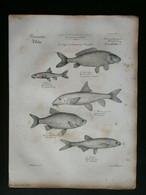 ICHTYOLOGIE: Vissen - Poissons: Originele 19e Eeuwse Gravure - Stampe & Incisioni