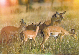 Rwanda - Parc National De L'Akagera - Antilopes Impala - Rwanda
