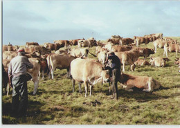 CPM 12 SAINT CHELY D'AUBRAC ... Montagne De Canuc (Livenais JE200789) Pose D'un Joug, Vaches - France