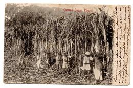 Afrique Du Sud -- CAPETOWN -- 1907--Cutting Sugar Canes--Récolte De La Canne à Sucre (  Animée )................à Saisir - Zuid-Afrika