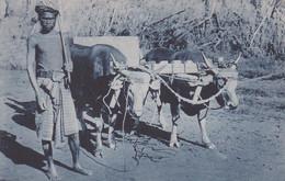 POSTCARD EAST TIMOR - TIMOR PORTUGUÊS - OLD PORTUGUESE COLONY - UM CARREIRO - OX OXEN  -  ETHNIC - East Timor