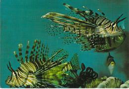 Eilat - Poissons Scorpions - Scène Sous Marine - Israël