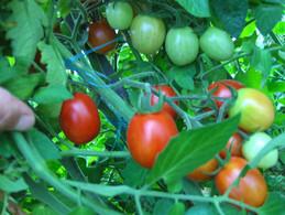 30 Graines De Tomate COCKTAIL GROSSE( BIO) - 2. Zaden