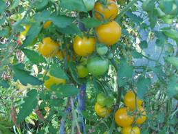 30 Graines De Tomate CERISE JAUNE ALTEK ( BIO) - 2. Zaden