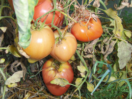30 Graines De Tomate MALINOWY RODEO ( BIO) - 2. Zaden