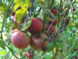 30 Graines De Tomate ROSE DE BERNE ( BIO) - 2. Zaden