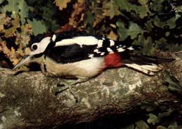 E 1735 - Oiseaux De Notre Pays     Pic Epeiche - Birds