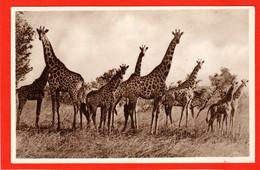 ANIMALS AFRICA SUDAN KHARTOUM   GIRAFFE - Giraffen