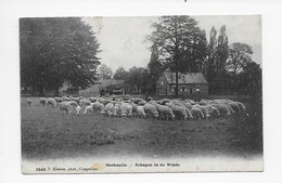 Oostmalle  -  Schapen In De Weide    3560 F Hoelen,phot.,Cappellen 1908 - Malle