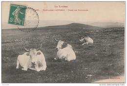 PA6- 48)  MONTAGNES D'AUBRAC   (LA LOZERE)  DANS LES PATURAGES - (VACHES) - France