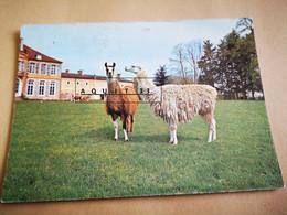 1 Carte Postale 1972 Réserve De Saint Augustin Château Sur Allier Lama - Otros