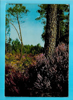 40-----VISAGE DES LANDES--pins Et Bruyères---voir 2 Scans - Unclassified