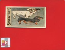 Chocolat STOLLWERCK Chromo Illustrateur Chien Miroir Déformant Teckel Basset Magie - Stollwerck