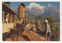 Népal - Villagers Of Ghandrung Beat Barley. Mt Annapurna - Nepal