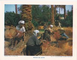 Chromo : Image Pédagogique : Algérie : Récolte De Dattes : Métier - Agriculture : 27cm X 21cm : - Cromo
