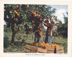 Chromo : Image Pédagogique : Algérie : Cueillette Des Oranges : Métier - Agriculture : 27cm X 21cm : - Cromo