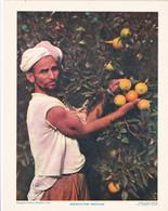 Chromo : Image Pédagogique : Maroc : Arboriculteur Marocain : Orange - Agriculture - Métier : 27cm X 21cm : - Cromo