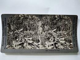 PHOTO STÉRÉO - Camouflage Animal - Bécasse Sur Son Nid.- A Voir ! - TBE - Ed. Keystone USA - Fotos Estereoscópicas