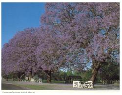 (U 1) Australia - NSW - Grafton Jacaranda Trees (GF4) - Australië