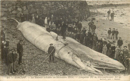 ROSCOFF  Cétacé échoué (taille 20m) En Décembre 1904 - Sonstige Gemeinden