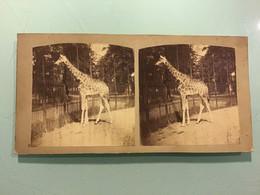 Photographie Stéréoscopique — Girafe D'Afrique — Ménagerie Jardin Des Plantes Paris - Stereoscoop