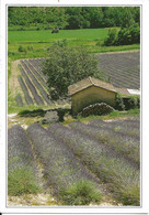 34. CPM. Hérault. Paysage Du Languedoc. Champs De Lavande (photo Jacques Joffre) - Zonder Classificatie