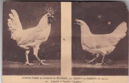 62 - AUCHY Les HESDIN - Aviculture Du Haras De BLINGEL - Coquelet Et Poulette Legborn - Otros Municipios