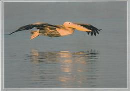 WHITE PELICAN IN FLIGHT - Birds