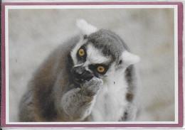"""LEMURIEN  """" LEMUR MAKI CATTA """"  Madagascar - Zoo De La Citadelle De Besançon - Andere"""