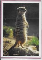 SURICATE ( Suricata ) - Zoo De La Citadelle De Besançon - Andere