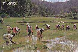 ASIE,ASIA,SRI LANKA,CEYLON,CEYLAN,ceylanais,CEYLANAISE,METIER,OUVRIERE - Sri Lanka (Ceylon)