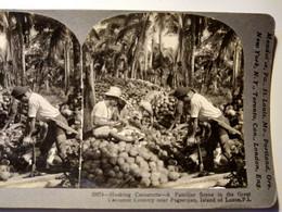 PHOTO STÉRÉO - Île De Luzon - Récolte De Noix De Coco - Superbe !- Ed. Keystone  1906 TBE - Fotos Estereoscópicas