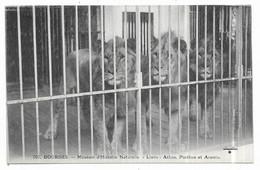 Bourges Muséum D' Histoire Naturelle Lions : Athos, Porthos Et Aramis - Bourges