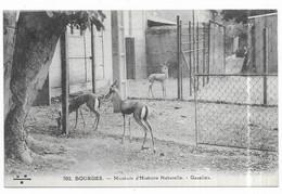 Bourges Muséum D' Histoire Naturelle Gazelles - Bourges
