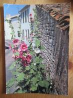 17 - Ile De Ré - Rue Fleurie De Roses Trémières - Ed. Marcou 171460 - Ile De Ré