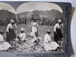 PHOTO STÉRÉO USA - Travaux Des Champs Canne à Sucre - Sud Des États-Unis - 1903 - Ed. Keystone - TBE - Fotos Estereoscópicas