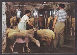 116453/ Moutons, Les Causses, Traite Des Brebis à La Machine - Veeteelt