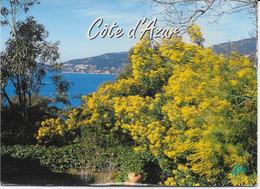 La Cote D'Azur - Paysage Typique De La Cote D'Azur, Les Mimosas En Fleurs Et La Méditerranée - Provence-Alpes-Côte D'Azur