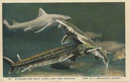 Shark And Sturgeon . New York Aquarium . Requin Et Esturgeon . Caviar.  Maine To Florida - Fish & Shellfish