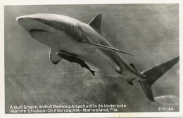Bull Shark With Shark Sucker  Florida . Requin Et Rémora   . Marineland - Fish & Shellfish