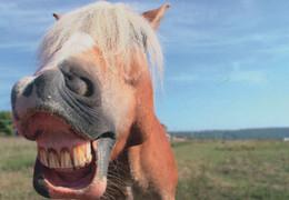 Funny Horse Laughing Lustiges Pferd Comic German Horses Postcard - Paarden