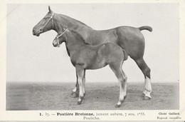 RACE   POSTIERE BRETONNE  Jument Aubere - Paarden