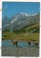 Mucche Al Pascolo Nella Alta Val Ferret Courmayeur Aosta, Sullo Sfondo Monte Bianco E Aiguille Noire - Zonder Classificatie